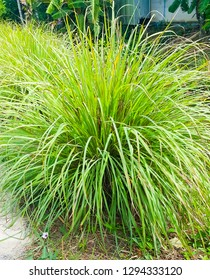 Lemongrass or Lapine or Lemon grass or West Indian or Cymbopogon citratus were planted on the ground. It is a shrub, its leaves are long and slender green. It is an herb, made into food and medicine.