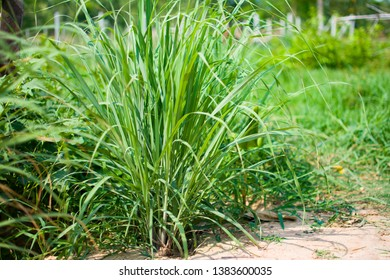 Lemongrass or Lapine or Lemon grass or West Indian or Cymbopogon citratus were planted on the ground. It is a shrub, its leaves are long and slender green. It is an herb, made into food and medicine