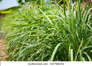 Lemongrass or Lapine or West Indian or Cymbopogon citratus were planted on the ground. It is a shrub, its leaves are long and slender green. It is an herb which was made into food and medicine.
