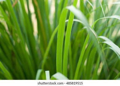 Lemongrass leaf background.