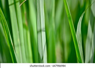 Lemongrass leaf background
