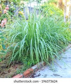 Lemongrass plant - herb and vegetable in garden