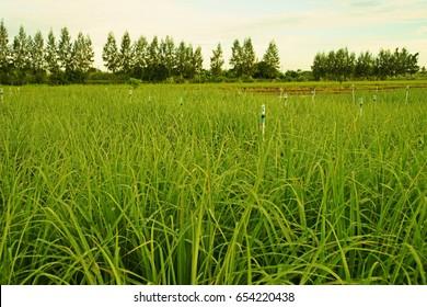 lemongrass plant in production field
