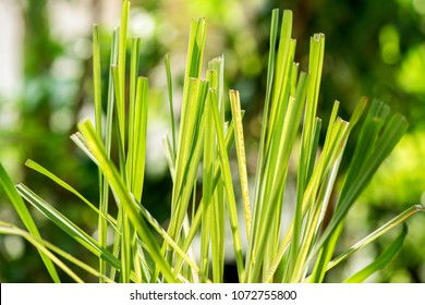 Lemongrass, plants, vegetables and herbs have medicinal properties.