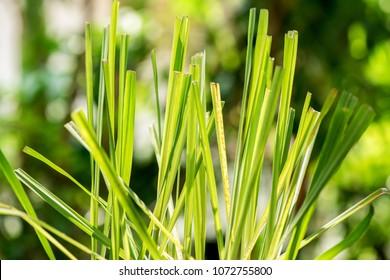 Lemongrass, plants, vegetables and herbs have medicinal properties.