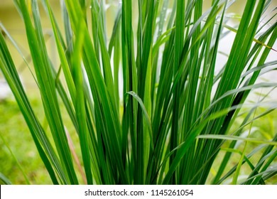Lemongrass is a spice. For many kinds of Thai food.