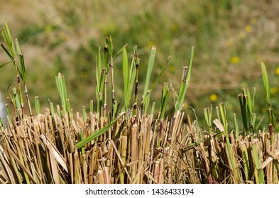 Lemongrass sprouting in spring, Cymbopogon, in vegetable garden.