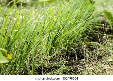 Lemongrass tree planting, herb