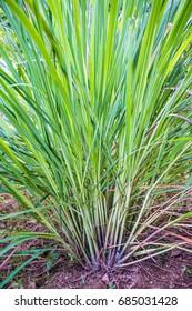 Lemongrass tree planting on the ground