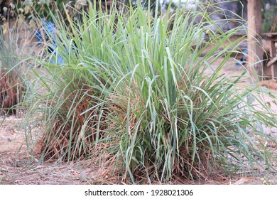 Lemongrass You can use the trunk for cooking