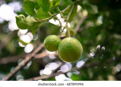 lemons with green background. - Shutterstock ID 687895996