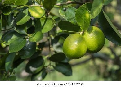 lemons green fruit