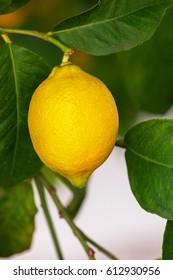Lemons grow on a branch in a garden close up