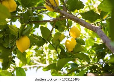 Lemons grow on the tree