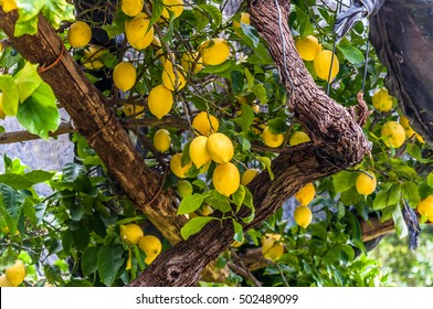 Lemons hanging on lemon tree, in a garden, at the Amalfi Coast italy