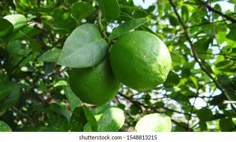 Lemons on Lemon tree in the field or Lemons farming