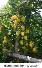 Lemons on a lemon tree , South Italy