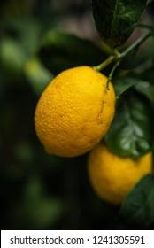 Lemons on the tree, close up