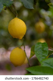 Lemons, on the tree, pending collection. Valencia. Spain. Europe