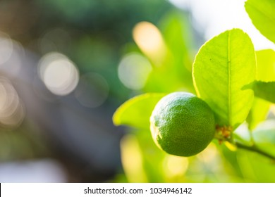 Lemons tree in garden with sun rays shining through the leaves