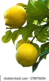 Lemons tree isolated on white background