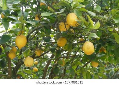 Lemons trees in the garden of Masseria Trapana, Lecce, Puglia, Italy