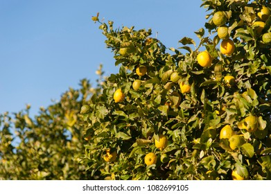 Lemontree with fresh yellow lemons and green leafs