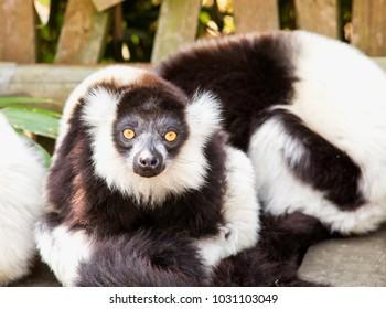Lemur, black and white, staring at camera, horizontal image