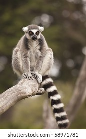 Lemur Branch