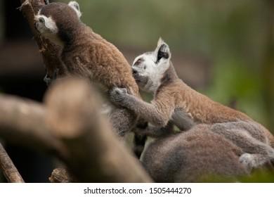 Lemur catta baby on the mother's back/Lemur catta baby and mother/Lemur Catta