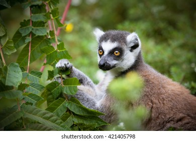 Lemur catta outside shot. Ring-tailed lemur with black and white stripes on tail. Lemur is a cute species. Lemur watching straight to the camera. Jungle animal, rainforest lemur.