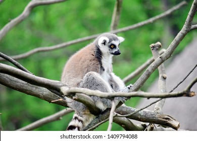Lemur Catta SItting on Branch and Looking
