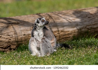 Lemur catta sitting on a grass on a sunny spring day. Scared pose.