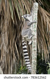 the lemur is climbing up a pole