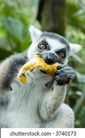 lemur eating banana