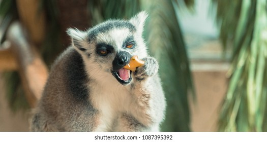 Lemur. Lemur eats fruit