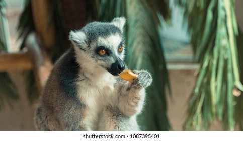 Lemur. Lemur eats fruit