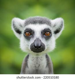 Lemur face close up