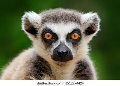 Lemur face, close-up portrait of Madagascar monkey.  Ring-tailed Lemur, Lemur catta, with green clear background. Animal from Madagascar, Africa, orange eyes.