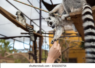 Lemur feeding. Lemurs, endangered animals of Madagascar, Africa, in the zoo or safari park