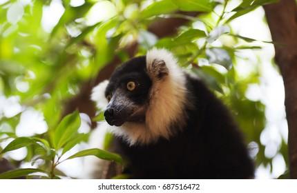 Lemur Indri in the Biopark of Valencia, Spain