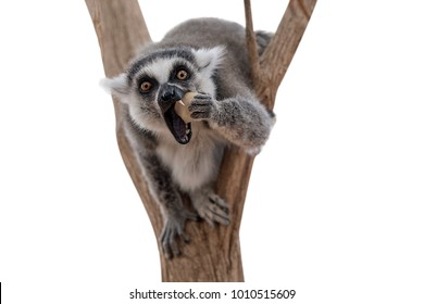 Lemur isolated on white background. Lemur looking at camera and eating apple. Funny photo of lemur in wildlife. Lemurs are endangered fauna species of Madagascar, Africa.