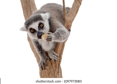 Lemur isolated on white background. Funny and cute lemur looking at camera and eating apple. Lemurs are endangered fauna species of Madagascar, Africa.