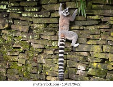 Lemur katta climbs a stone wall
