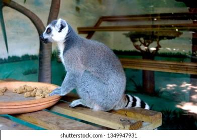 Lemur. La Vanille Nature Park, Mauritius