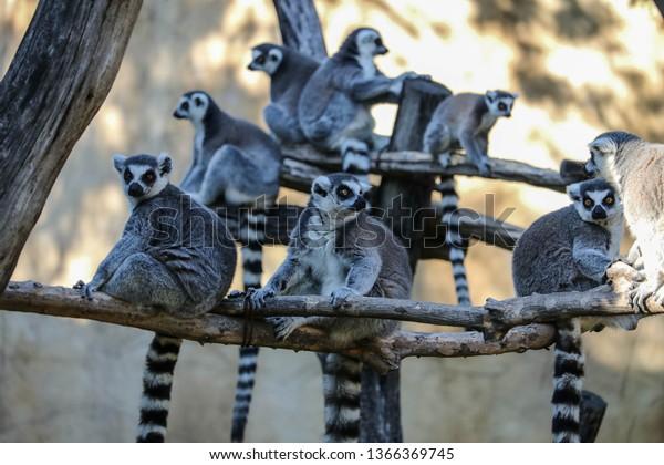 lemur-long-tail-sits-quietly-600w-136636