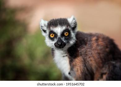 Lemur looking, Ring-tailed lemur (Lemur catta) wild portrait