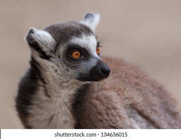 Lemur monkey