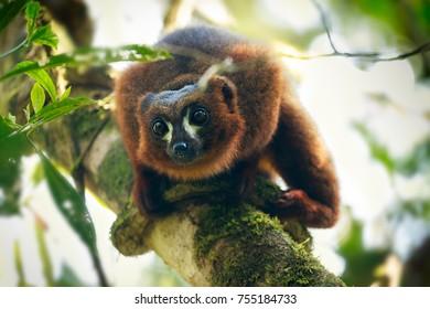 Lemur in  National Park
