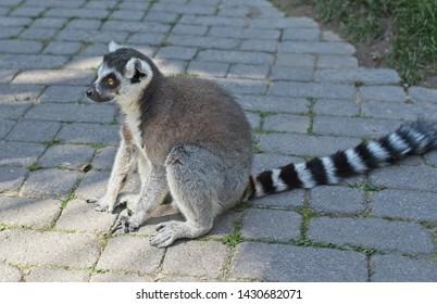 Lemur in nature,cute wild animal